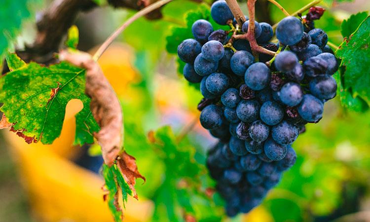 Grappolo uva castelli del Grevepesa